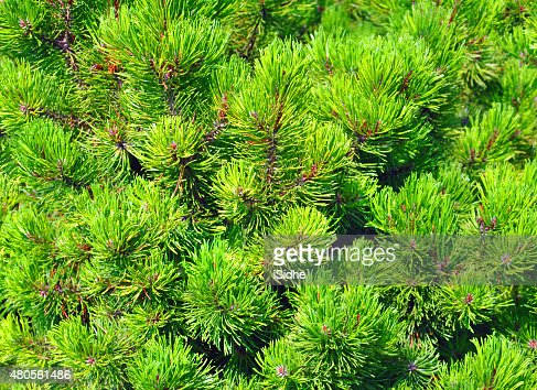 fir branches background : Stock Photo