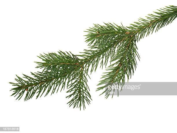 fir branchlet