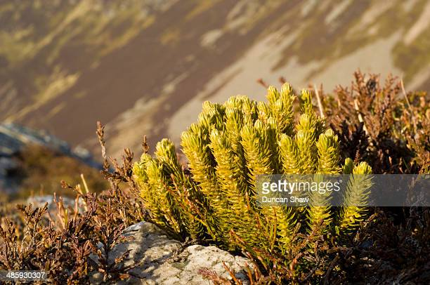 Fir Clubmoss