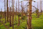 Fir forest damaged by acid rain, Most, Czech Republic
