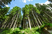 Fir forest in the summer.