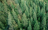 Fir forest view from above - beautiful nature of forest - aerial view