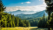 Fir forest with mountain silhouette on the background, Romania