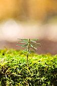 Fir sapling
