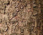 Close up of Fir Tree Bark