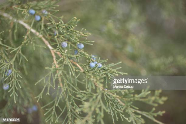 Fir Tree Branch and Blue Berries