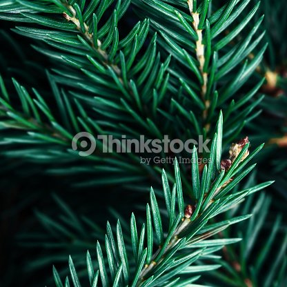 Fir Tree Branch Background Close Up Christmas Pine Stock Photo