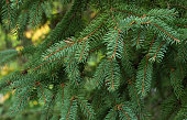 Spruce tree close-up. Christmas background