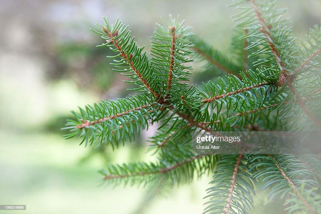 Fir tree branch : ストックフォト
