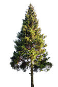 Fir tree isolated on white