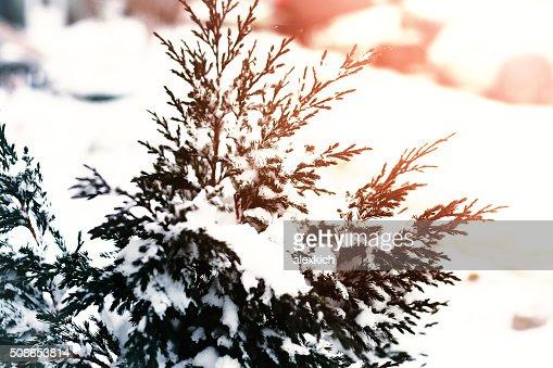 fir tree snow winter macrpo : Stock Photo