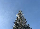 Snow covered fir tree top in clear blue skies