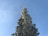 Snow covered fir tree with clear blue skies