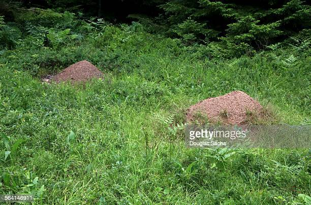 Fire ant mounds in the wild