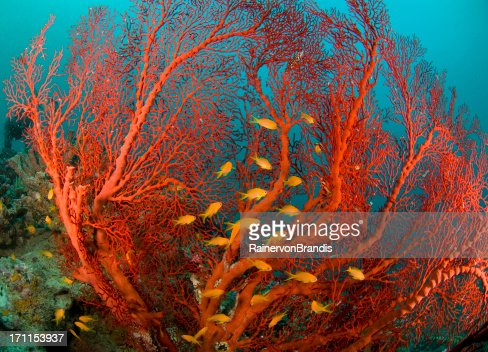 fire coral and sea goldies