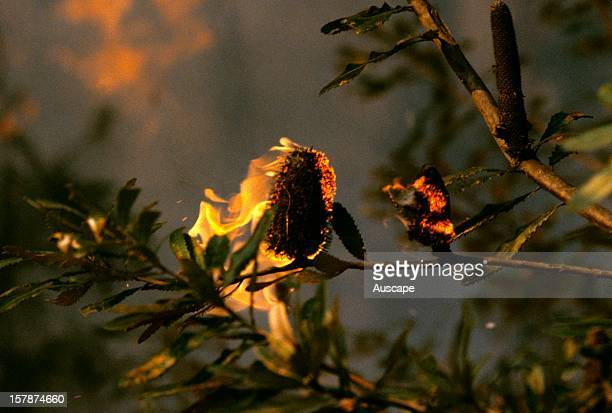 Fire engulfs seed cone of Saw banksia in coastal banksia scrub on a sand plain Fire is a major determinant of the flora of these areas Bradysporous...
