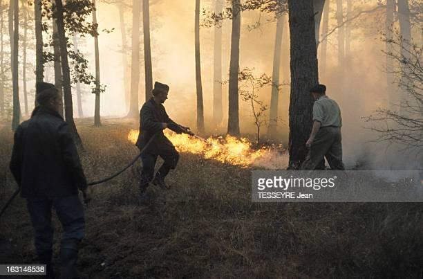 Fire Fontainebleau En France à Fontainebleau le 21 juillet 1967 lors d'un incendie de forêt un pompier essayant d'éteindre les flammes avec un tuyau...