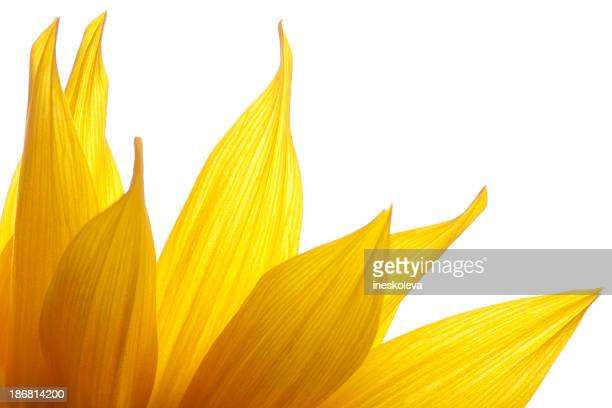 Feuer von Sonnenblume Blütenblätter