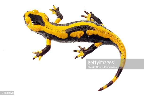 Fire salamander, close-up