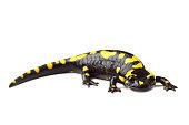 Fire salamander (Salamandra salamandra) isolated on white