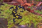 Fire salamander (Salamandra salamandra) wandering in a wood of the Italian Alps