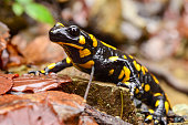 Fire salamander standing on the wet stone and autumn leaves, with photographer's reflection in the eye