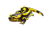 fire salamander isolated over a white background