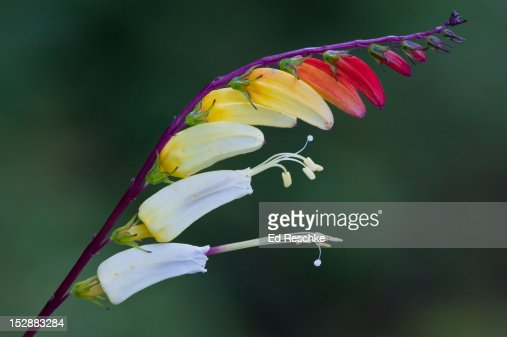 Firecracker Vine (Ipomoea lobata) : Stock Photo