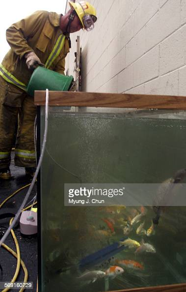 Firefighter craig konish pours rescued koi into an for Koi fish aquarium setup