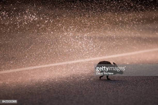 Firefighters spray water on a burned rabbit running out from the flames of the La Tuna Fire on September 2 2017 near Burbank California Los Angeles...