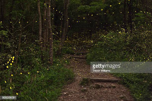 Fireflies float through the forest
