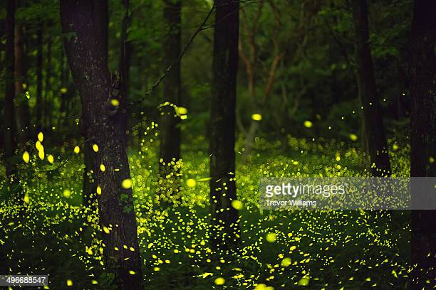 Fireflies glitter in a forest.