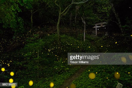 Fireflies lead to a temple gate in the forest : Stock Photo