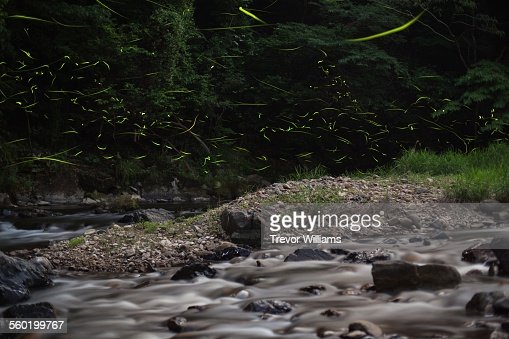 Fireflies put on a light show in the forest : Stock Photo