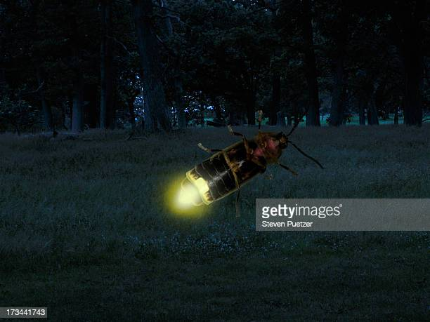 Firefly close-up