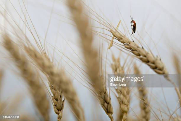 A firefly crawls on a the head of a hard red winter wheat stalk in a field during harvest in Zurich Kansas US on Thursday June 29 2017 Spring wheat...