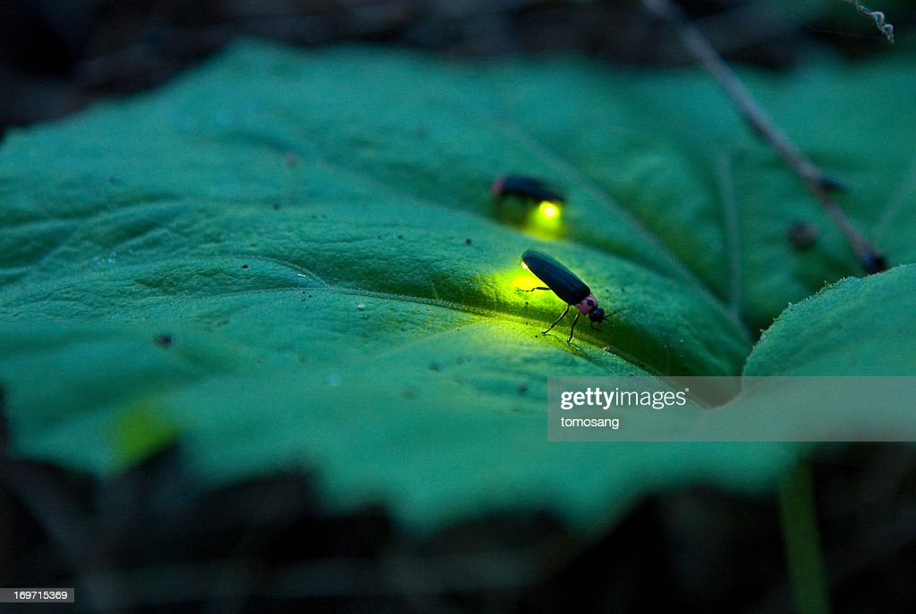 Firefly - Luciola cruciata : Stock Photo