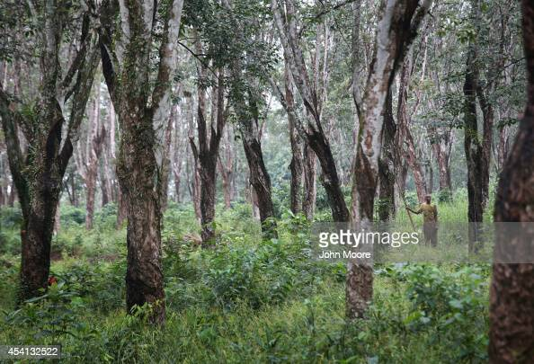 Firestone rubber tree plantation worker stands amidst the trees on August 24 2014 by Dolo Town Liberia The plantation is near Liberia's main...