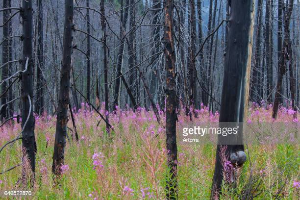 Fireweed / great willowherb thrives in forest among charred tree trunks after wildfire Kootenay National Park British Columbia Canadian Rockies Canada