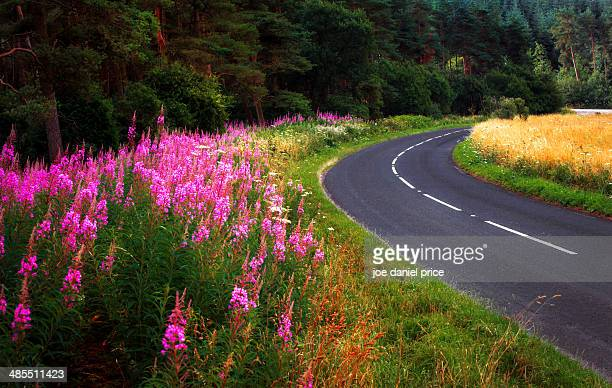 Fireweed on road near Wells, Somerset, England