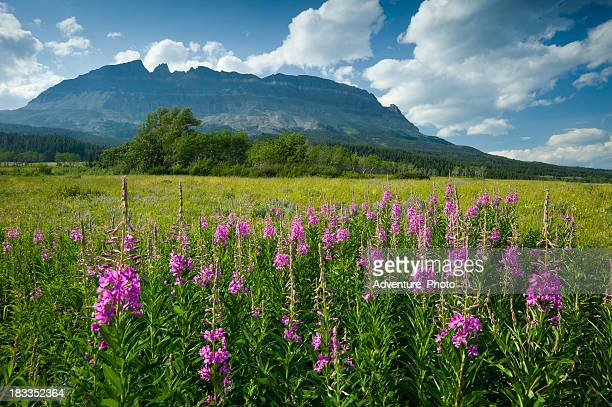 Fireweed Wildflowers and Mountains Glacier National Park