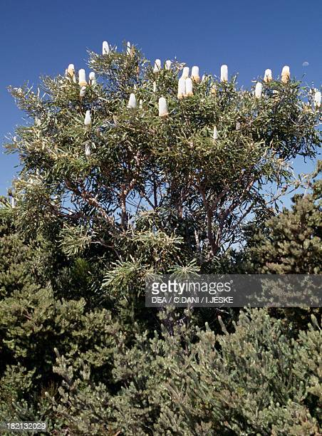 Firewood banksia Proteaceae Australia