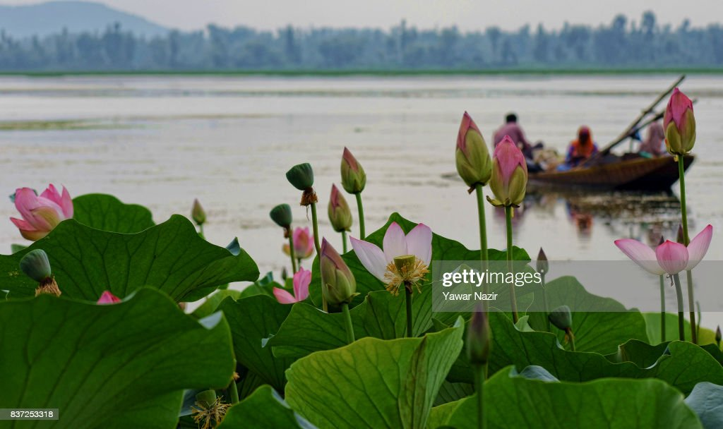 Firshmen row their boat nest to the floating lotus garden in Dal lake on August 22, 2017 in Srinagar, the summer capital of Indian administered Kashmir, India. Lotus flowers are in full bloom in ecologically rich Dal Lake. The flowers and leaves rise on their slender stalks three or four feet from the surface of the lake in the months of July and August. Its root, Nadru or Nelumbo nucifera, is a savoured delicacy of Kashmir people and fetches over $7,920,164 (50 Crore INR) annually for vegetable dealers.