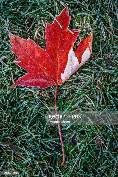 First autumn frost falls upon red maple leaf in Toronto Canada park