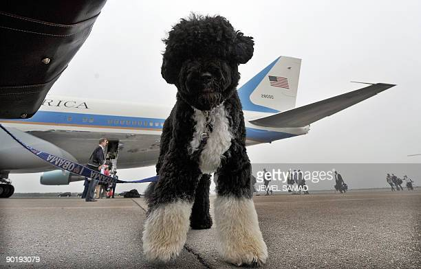 US First Family dog Bo waits to board the the Air Force One in Cape Cod on Martha's Vineyard Massachusetts on August 30 2009 en route to Washington...