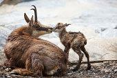 First kiss for newborn chamois (Rupicapra Carpatica)