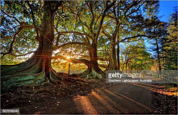 First light at the Moreton Bay fig-trees on New Farm road, Norfolk Island.