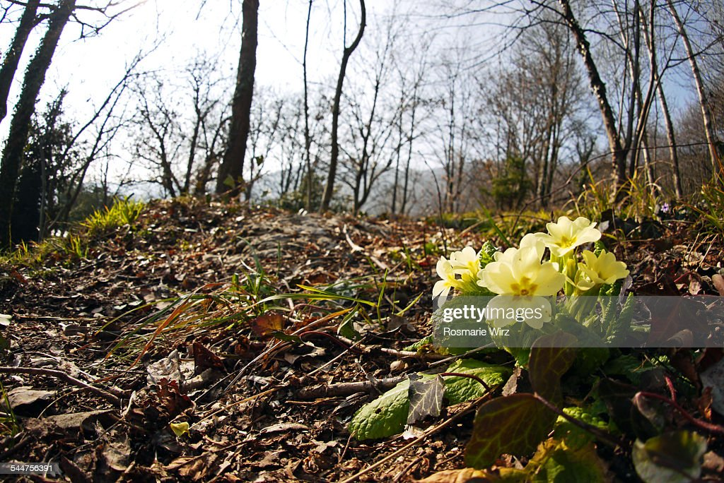 First primroses in the woods