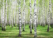 First spring greens in sunny birch grove
