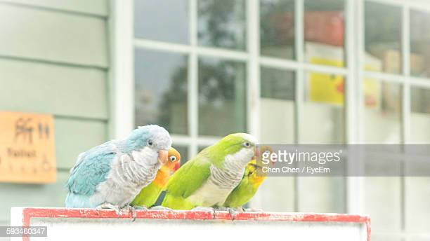 Fischer Lovebirds Against Building